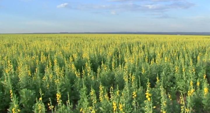 #Em MT, produtores investem em crotalária na segunda safra para aumentar produtividade de soja