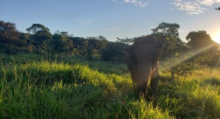 #Primeira elefanta morre quase três anos após chegar ao Santuário em Chapada dos Guimarães