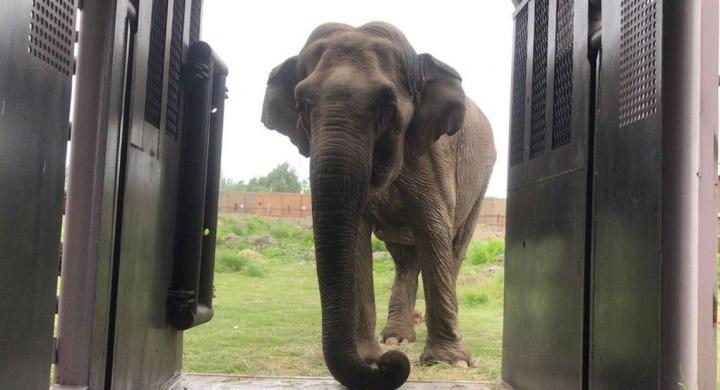 #Elefanta Ramba chega a santuário em Mato Grosso