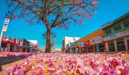 Ipês floridos embelezam e encantam Tangará da Serra