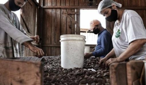 Castanha-do-pará produzida por mulheres e indígenas em MT é vendida ao mercado internacional